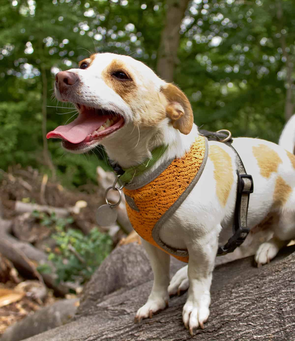 jack russell on dog walk with the great outpaws