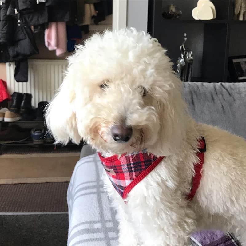 puppy visits Apperley Bridge Idle Calverley Eccleshill Wrose Saltaire Thackley Rawdon
