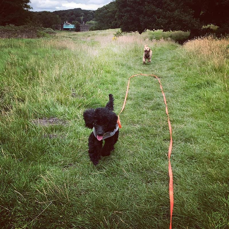 puppy walks Apperley Bridge Idle Calverley Eccleshill Wrose Saltaire Thackley Rawdon